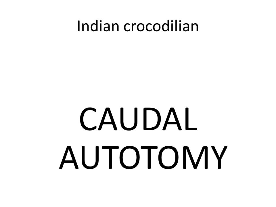 Indian crocodilian CAUDAL AUTOTOMY