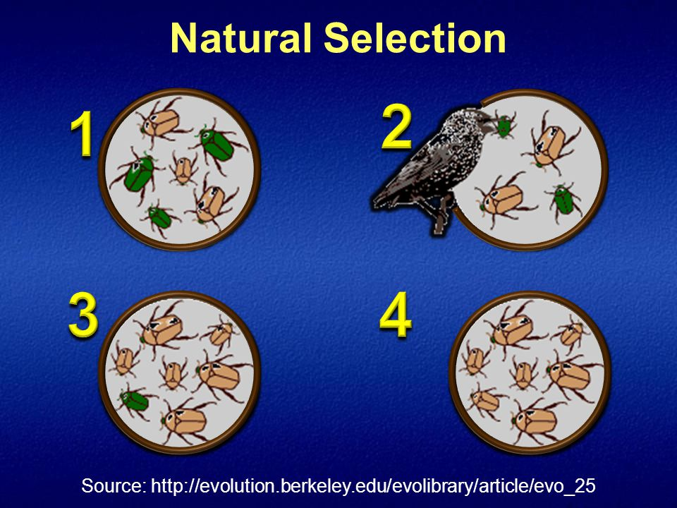 Natural Selection Source: http://evolution.berkeley.edu/evolibrary/article/evo_25