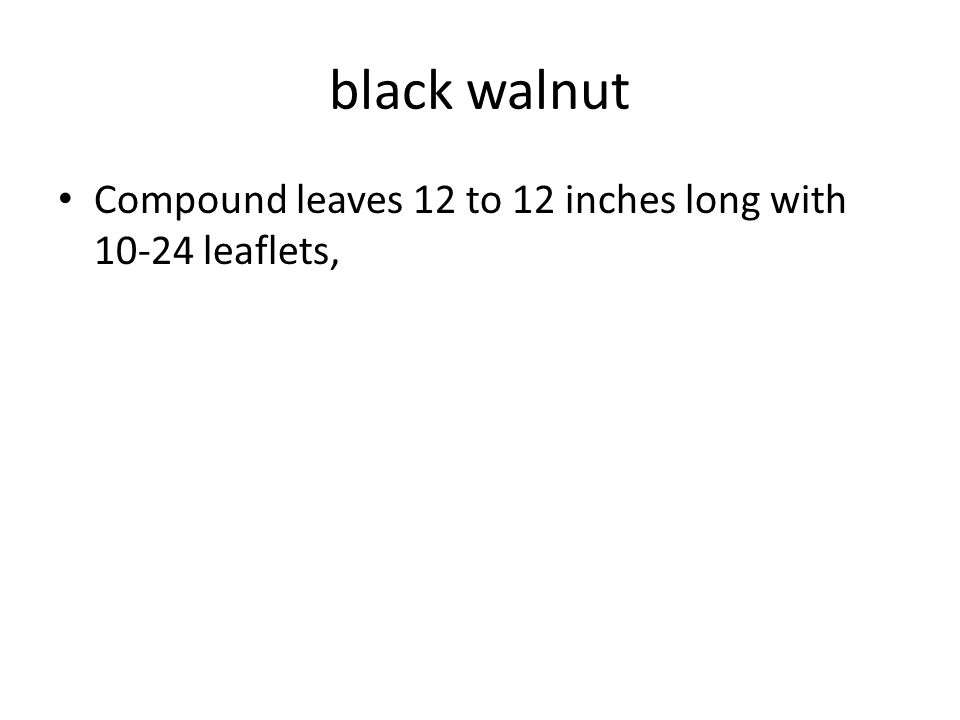 black walnut Compound leaves 12 to 12 inches long with 10-24 leaflets,