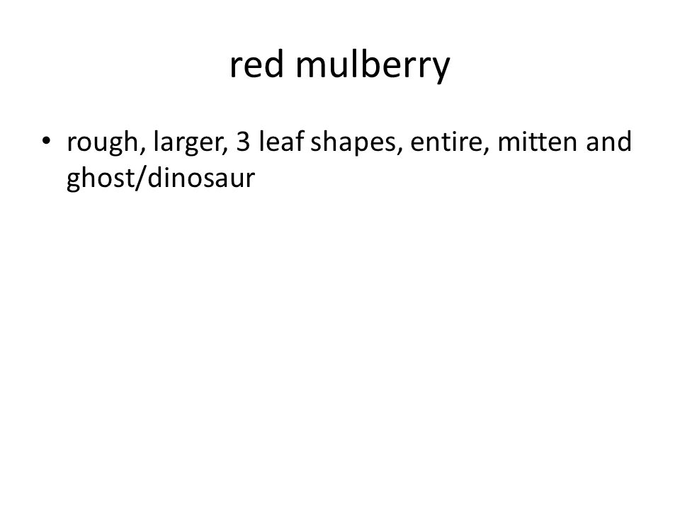 red mulberry rough, larger, 3 leaf shapes, entire, mitten and ghost/dinosaur