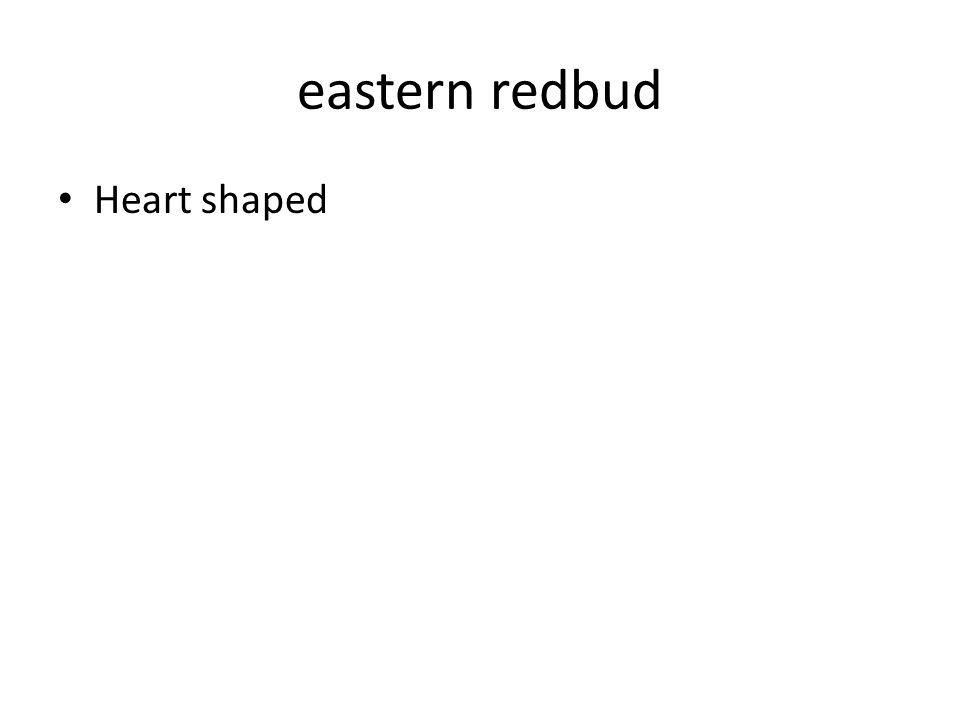 eastern redbud Heart shaped