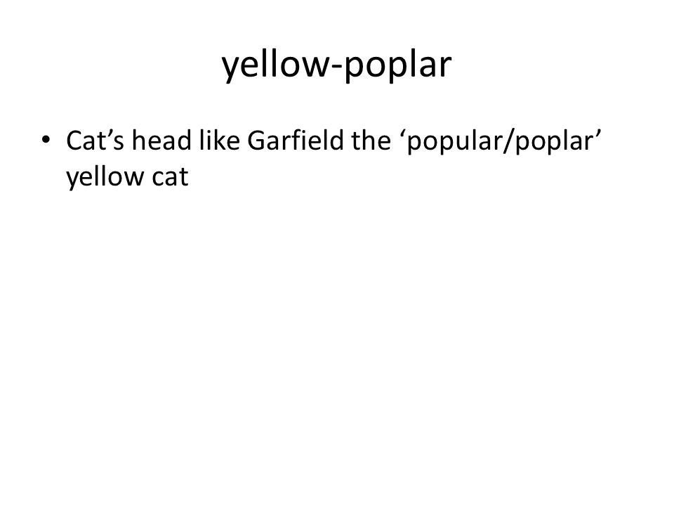 yellow-poplar Cat's head like Garfield the 'popular/poplar' yellow cat