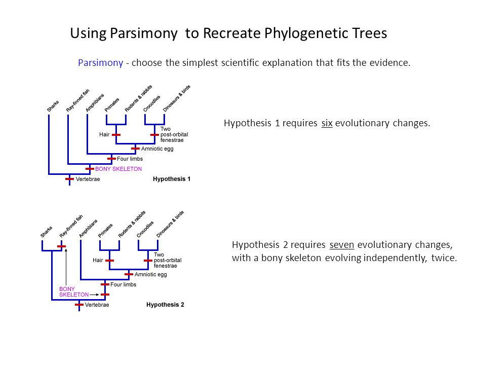 Using Parsimony to Recreate Phylogenetic Trees Parsimony - choose the simplest scientific explanation that fits the evidence. Hypothesis 1 requires si