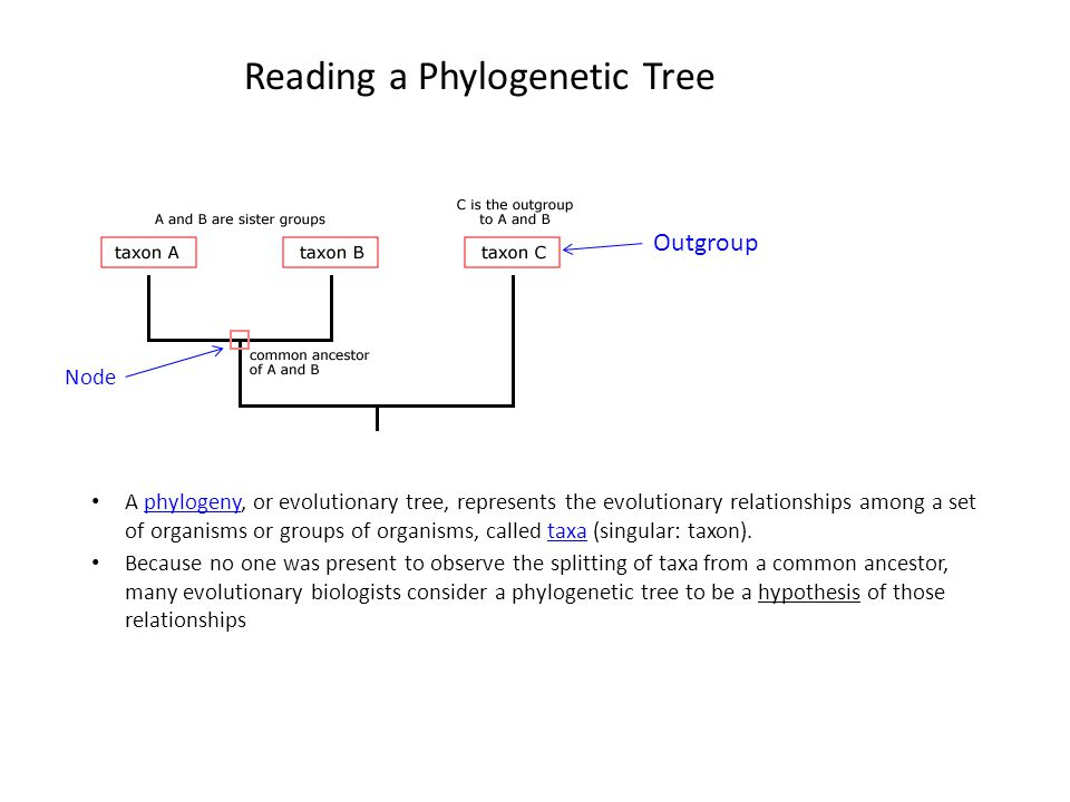 Understanding a phylogeny is a lot like reading a family tree.
