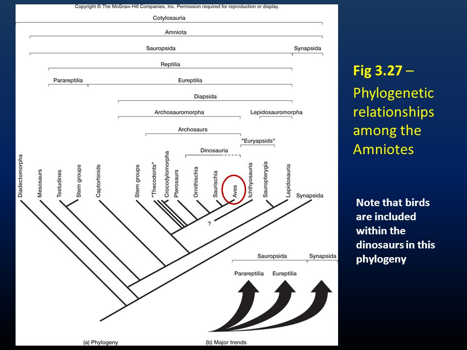 Fig 3.27 – Phylogenetic relationships among the Amniotes Note that birds are included within the dinosaurs in this phylogeny