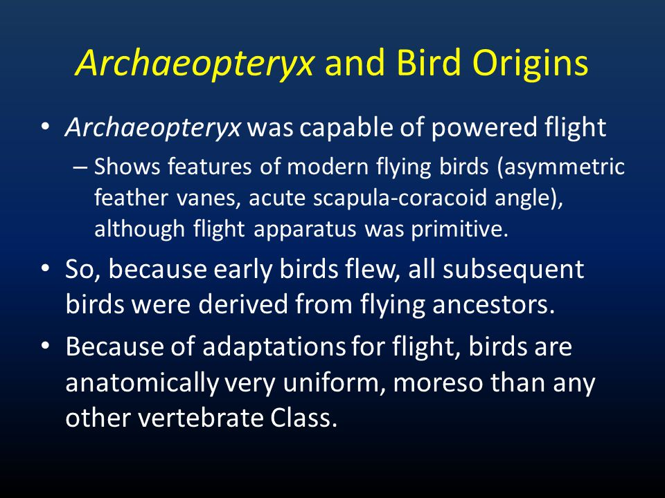 Archaeopteryx and Bird Origins Archaeopteryx was capable of powered flight – Shows features of modern flying birds (asymmetric feather vanes, acute sc