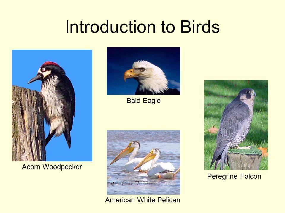 Introduction to Birds Acorn Woodpecker Bald Eagle Peregrine Falcon American White Pelican