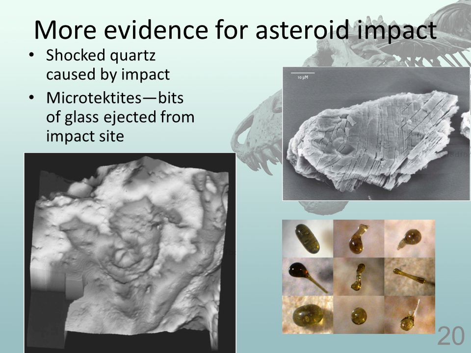 More evidence for asteroid impact Shocked quartz caused by impact Microtektites—bits of glass ejected from impact site 20