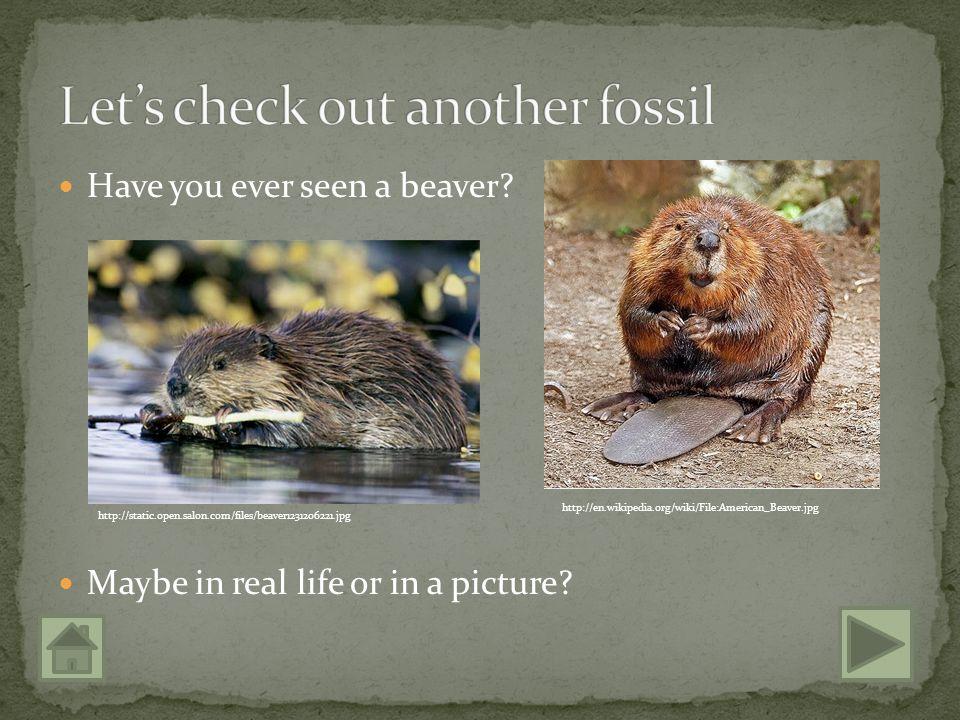 http://www.fossilien.de/seiten/haizaehne/megalodon_weisserhai.jpg