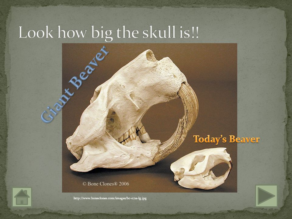 It could grow up to 8 feet long and weigh over two hundred pounds! It's front teeth were 6 inches long! http://en.wikipedia.org/wiki/File:Giant-beaver