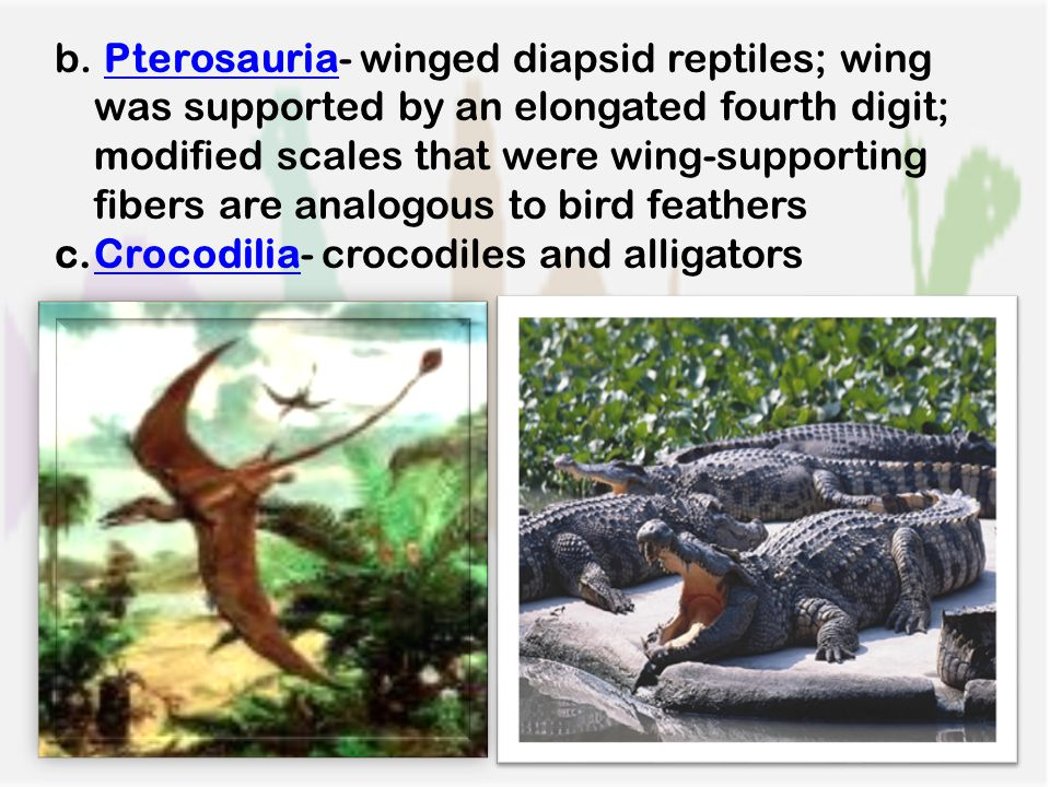 b. Pterosauria- winged diapsid reptiles; wing was supported by an elongated fourth digit; modified scales that were wing-supporting fibers are analogo