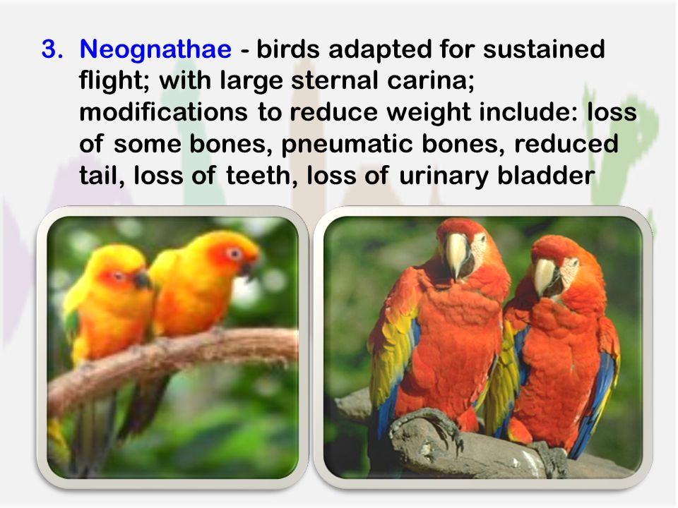 3.Neognathae - birds adapted for sustained flight; with large sternal carina; modifications to reduce weight include: loss of some bones, pneumatic bones, reduced tail, loss of teeth, loss of urinary bladder