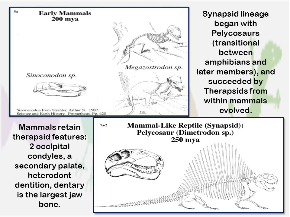 Synapsid lineage began with Pelycosaurs (transitional between amphibians and later members), and succeeded by Therapsids from within mammals evolved.