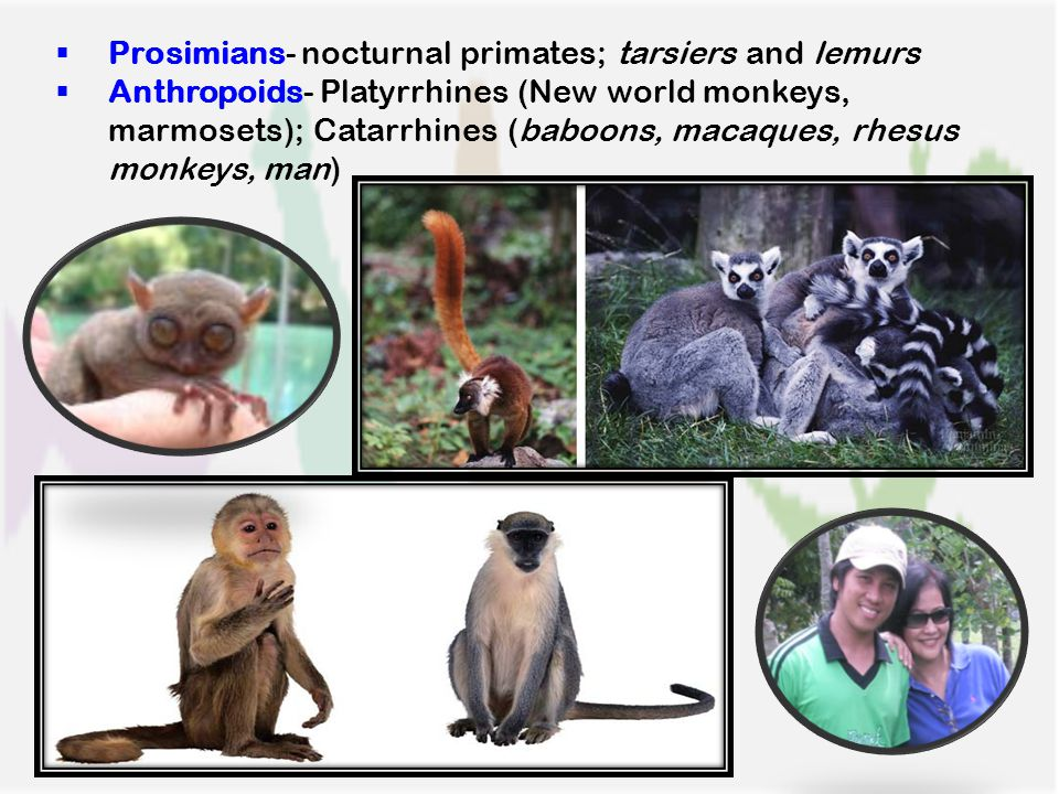  Prosimians- nocturnal primates; tarsiers and lemurs  Anthropoids- Platyrrhines (New world monkeys, marmosets); Catarrhines (baboons, macaques, rhesus monkeys, man)