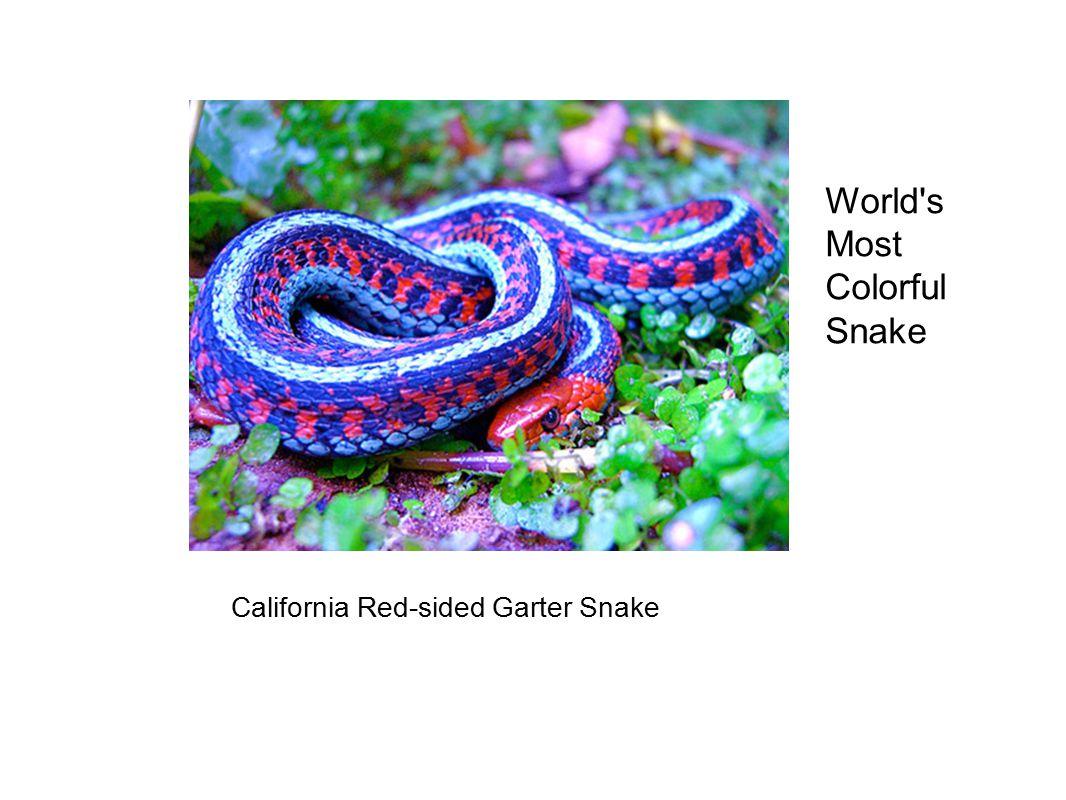 California Red-sided Garter Snake World s Most Colorful Snake