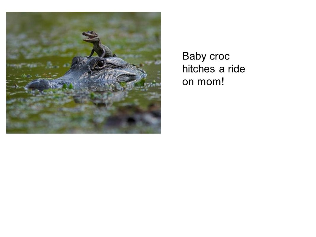 Baby croc hitches a ride on mom!