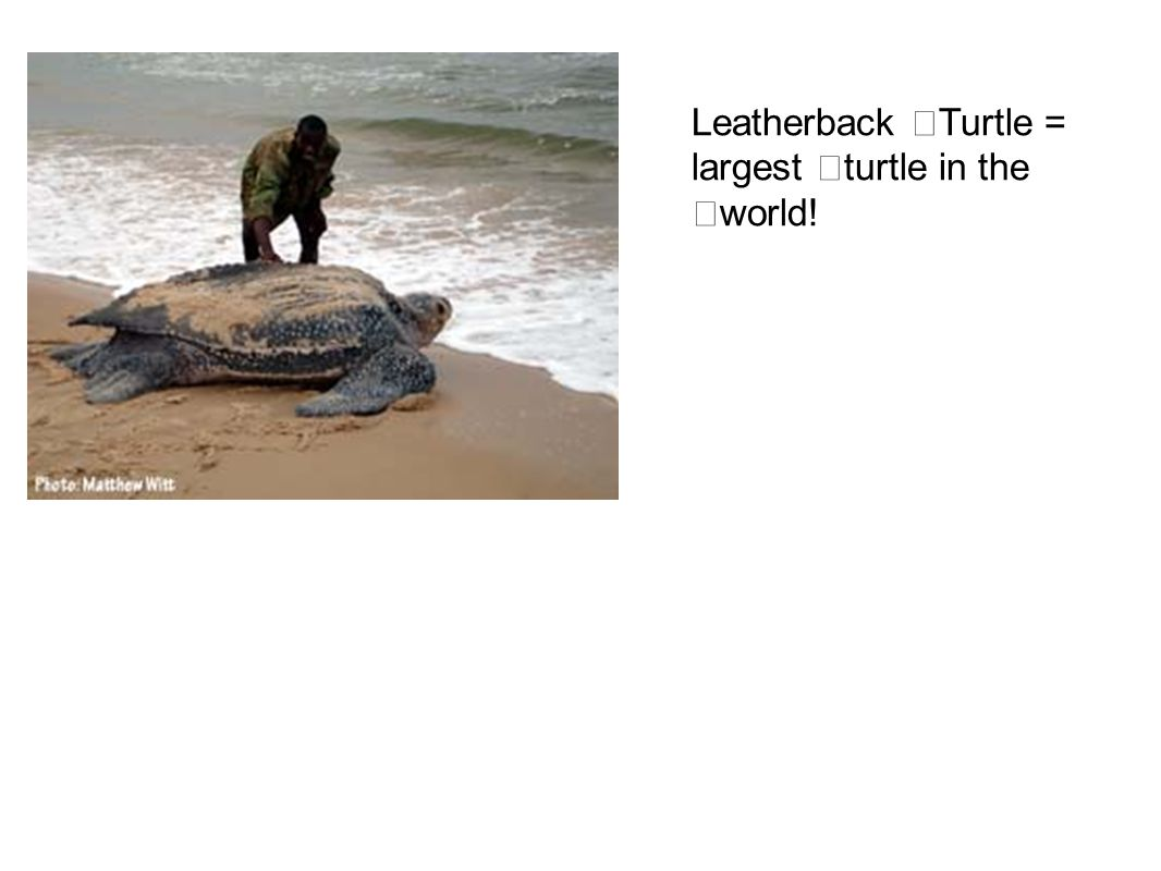 Leatherback Turtle = largest turtle in the world!