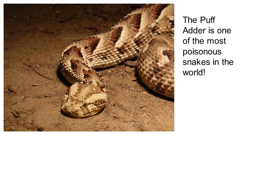 The Puff Adder is one of the most poisonous snakes in the world!