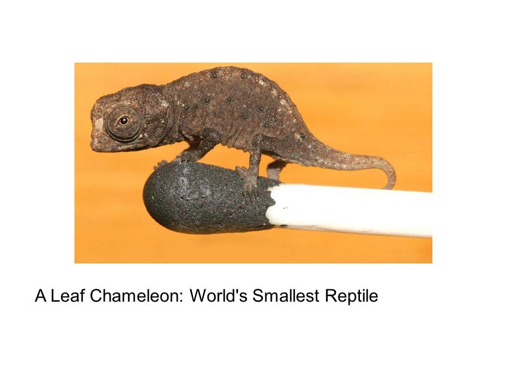 A Leaf Chameleon: World s Smallest Reptile