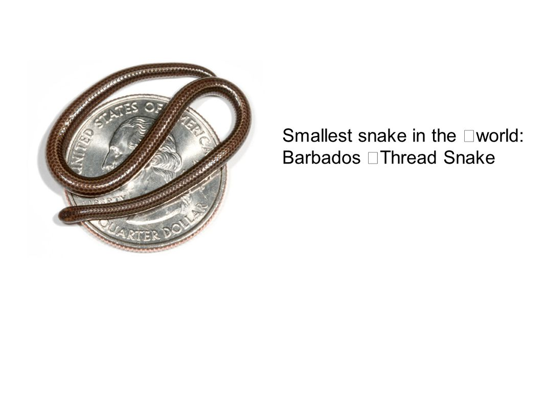 Smallest snake in the world: Barbados Thread Snake