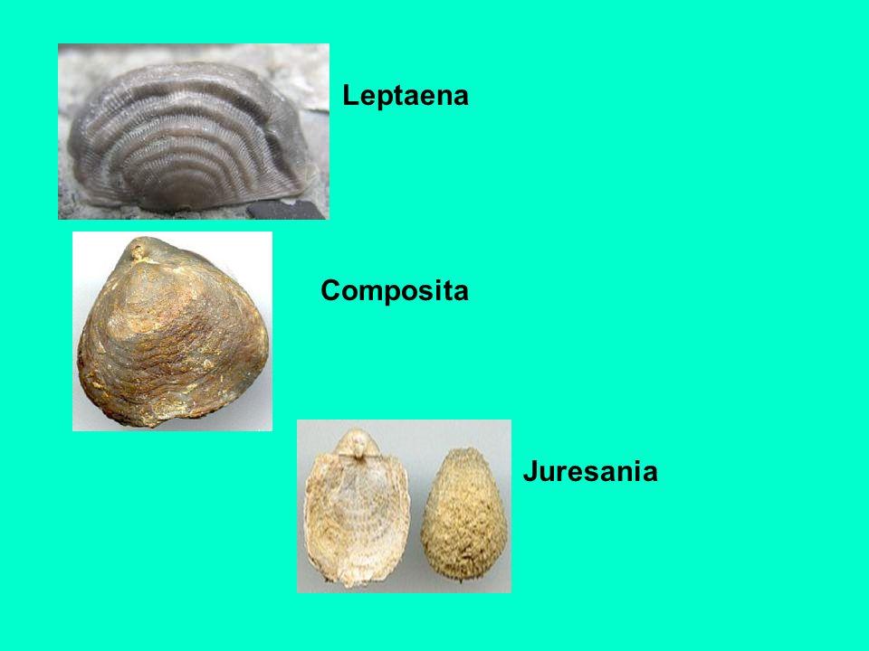 Leptaena Composita Juresania