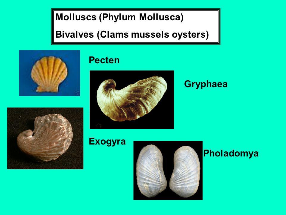 Molluscs (Phylum Mollusca) Bivalves (Clams mussels oysters) Pecten Gryphaea Exogyra Pholadomya