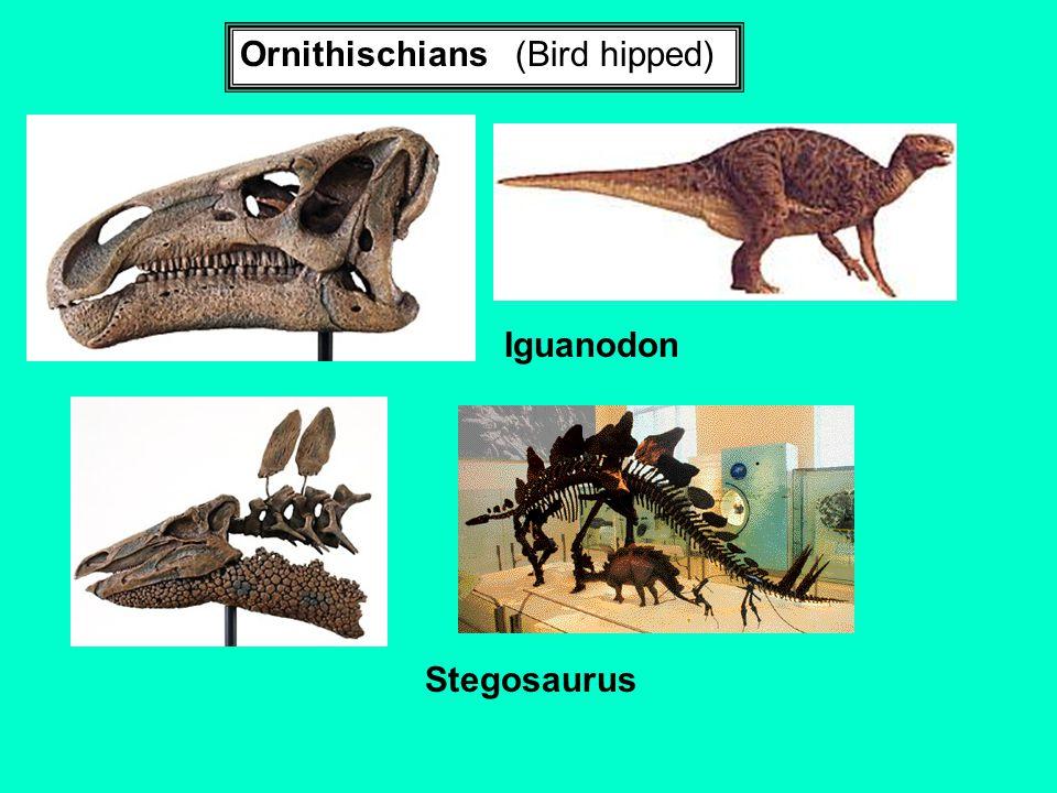 Ornithischians (Bird hipped) Iguanodon Stegosaurus
