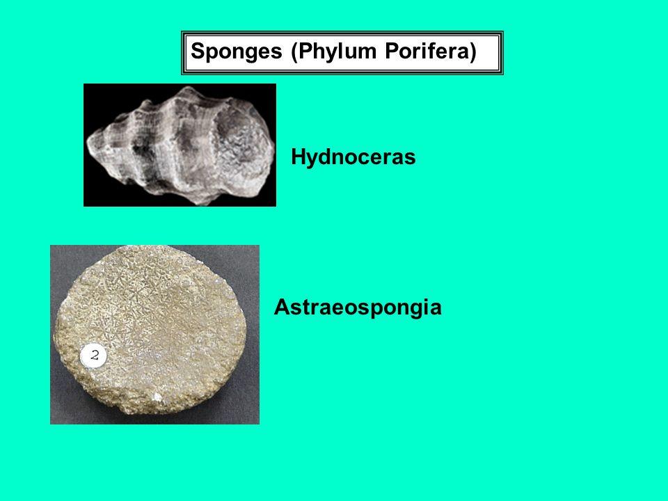 Sponges (Phylum Porifera) Hydnoceras Astraeospongia