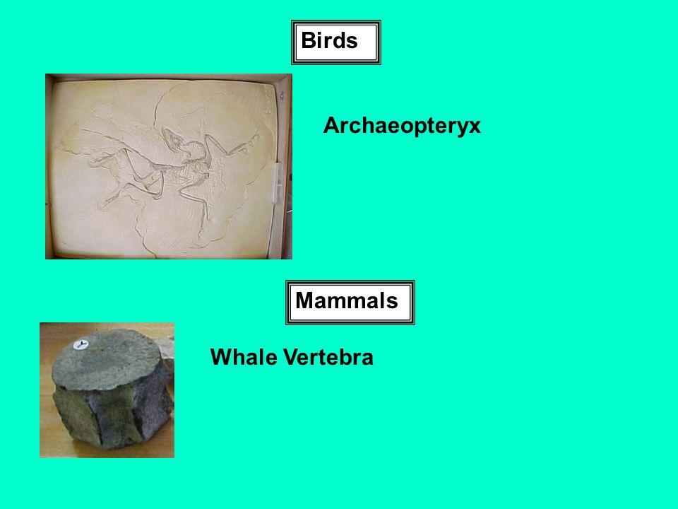 Birds Archaeopteryx Mammals Whale Vertebra