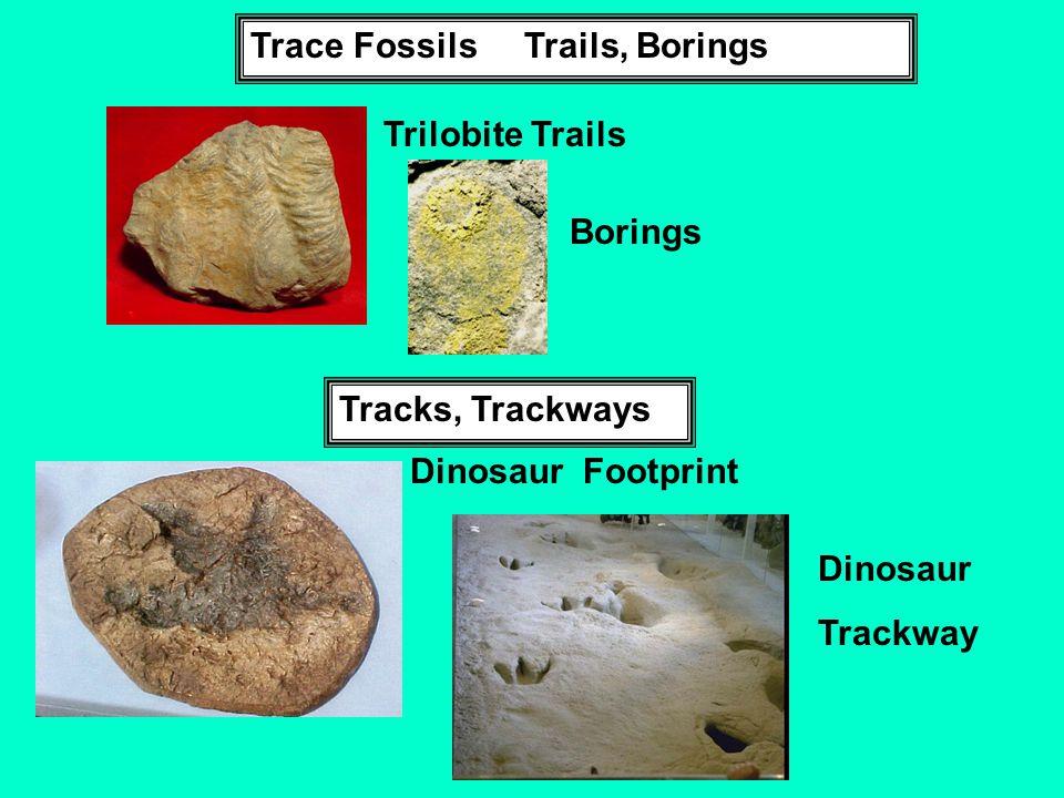 Trace Fossils Trails, Borings Trilobite Trails Borings Tracks, Trackways Dinosaur Footprint Dinosaur Trackway