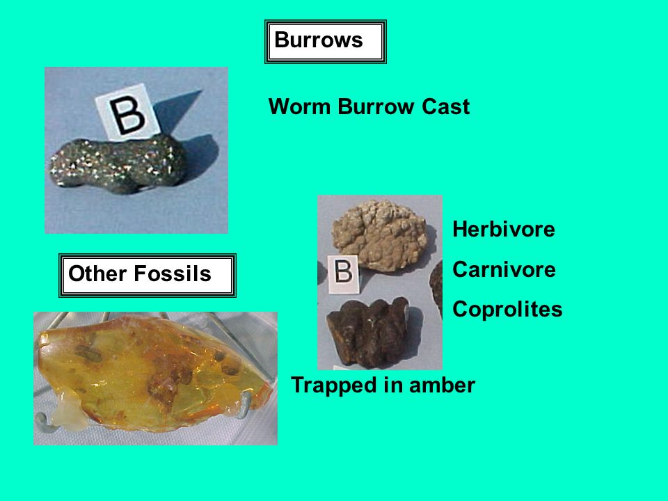Worm Burrow Cast Burrows Herbivore Carnivore Coprolites Other Fossils Trapped in amber