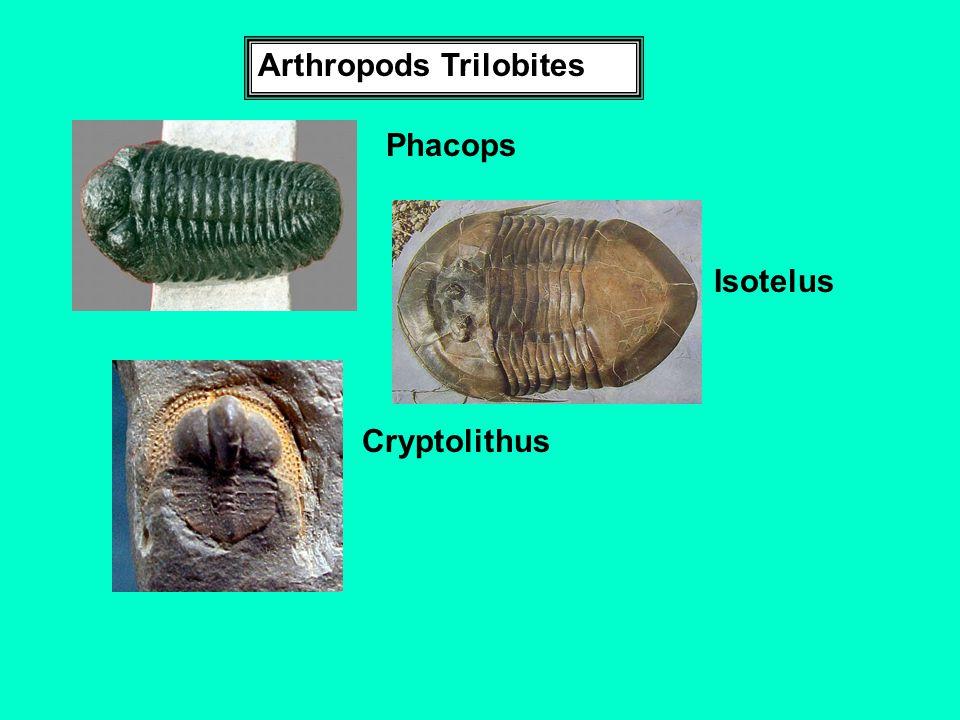 Arthropods Trilobites Cryptolithus Phacops Isotelus