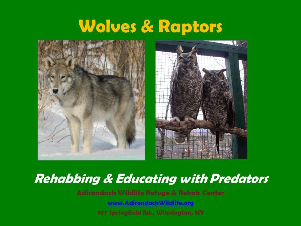 Wolves & Raptors Rehabbing & Educating with Predators Adirondack Wildlife Refuge & Rehab Center www.AdirondackWildlife.org 977 Springfield Rd., Wilmington, NY