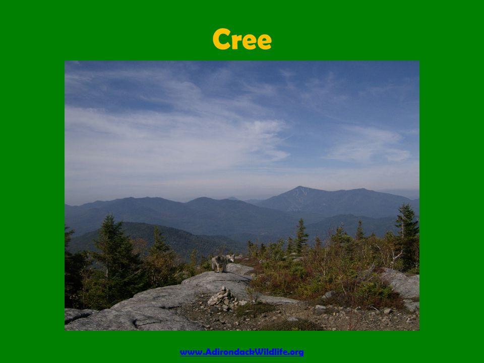 Cree www.AdirondackWildlife.org