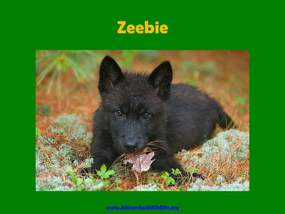 Zeebie www.AdirondackWildlife.org