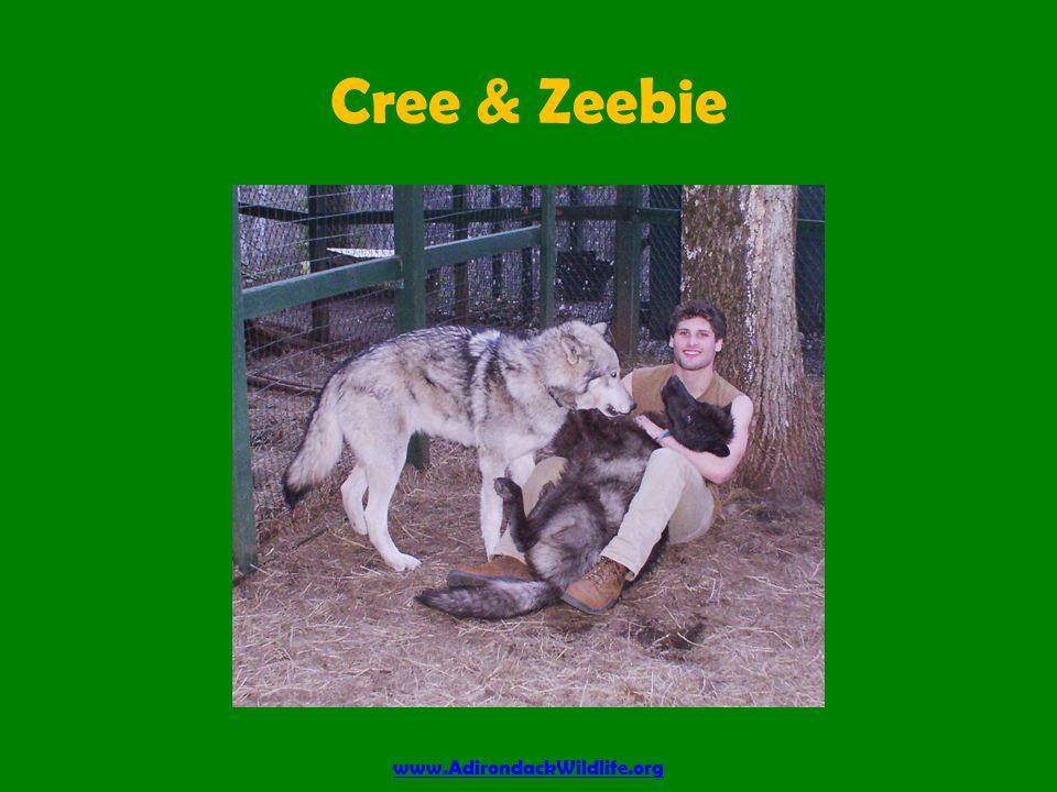Cree & Zeebie www.AdirondackWildlife.org