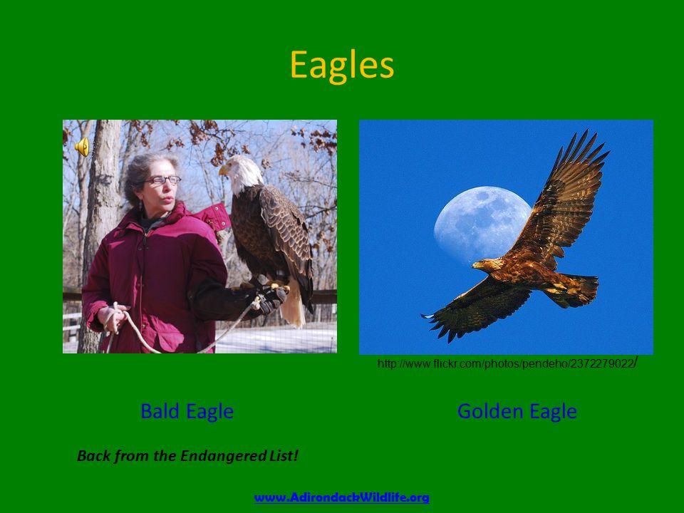 Eagles Bald Eagle Back from the Endangered List.