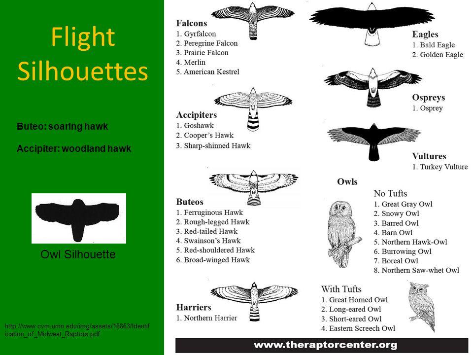 Flight Silhouettes http://www.cvm.umn.edu/img/assets/16863/Identif ication_of_Midwest_Raptors.pdf Buteo: soaring hawk Accipiter: woodland hawk Owl Silhouette
