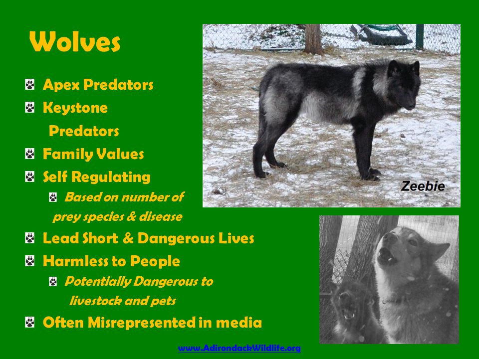 Wolves Apex Predators Keystone Predators Family Values Self Regulating Based on number of prey species & disease Lead Short & Dangerous Lives Harmless to People Potentially Dangerous to livestock and pets Often Misrepresented in media www.AdirondackWildlife.org