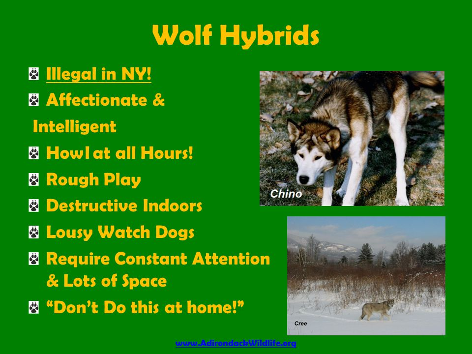 Adirondack Wolves Known by Many Names Coy Dog Coy Wolf Adirondack Wolf Brush Wolf Eastern Coyote Hybrid of Eastern Wolf & Western Coyote Harmless to People Dangerous to Pets www.AdirondackWildlife.org