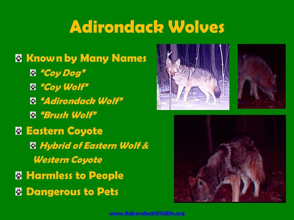 Our Wolves www.AdirondackWildlife.org