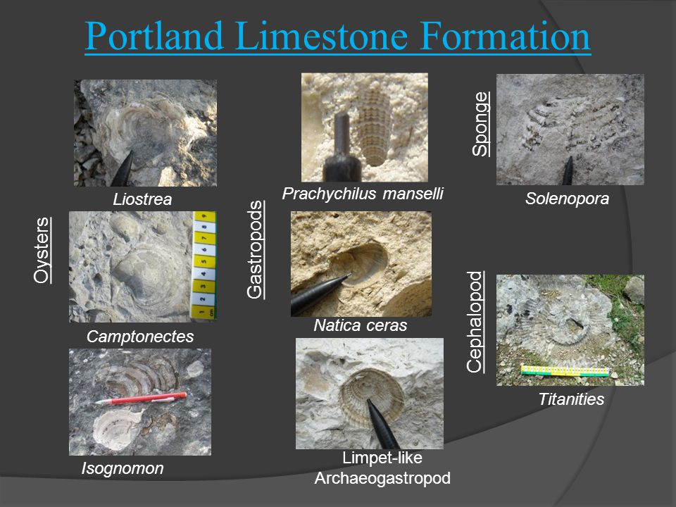 Portland Limestone Formation Oysters Camptonectes Liostrea Isognomon Limpet-like Archaeogastropod Titanities Solenopora Prachychilus manselli Natica ceras Gastropods Sponge Cephalopod