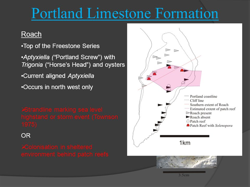 """Portland Limestone Formation Roach Top of the Freestone Series Aptyxiella (""""Portland Screw"""") with Trigonia (""""Horse's Head"""") and oysters Current aligne"""