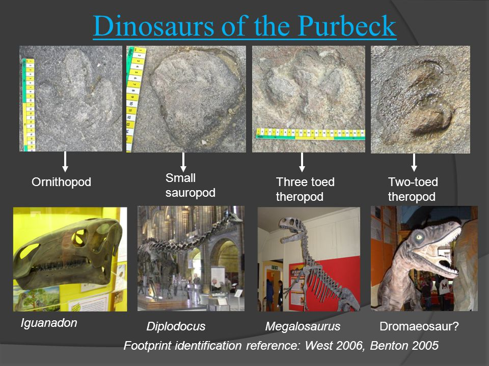Dinosaurs of the Purbeck Ornithopod Small sauropod Two-toed theropod Three toed theropod Iguanadon Dromaeosaur MegalosaurusDiplodocus Footprint identification reference: West 2006, Benton 2005