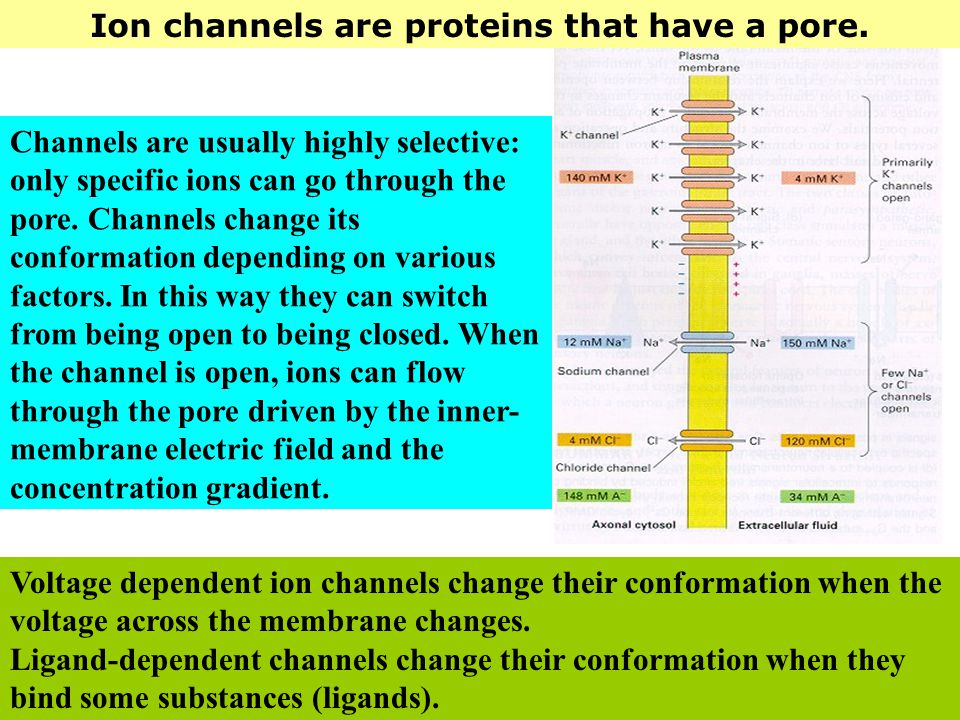 Ion channels are proteins that have a pore. Voltage dependent ion channels change their conformation when the voltage across the membrane changes. Lig
