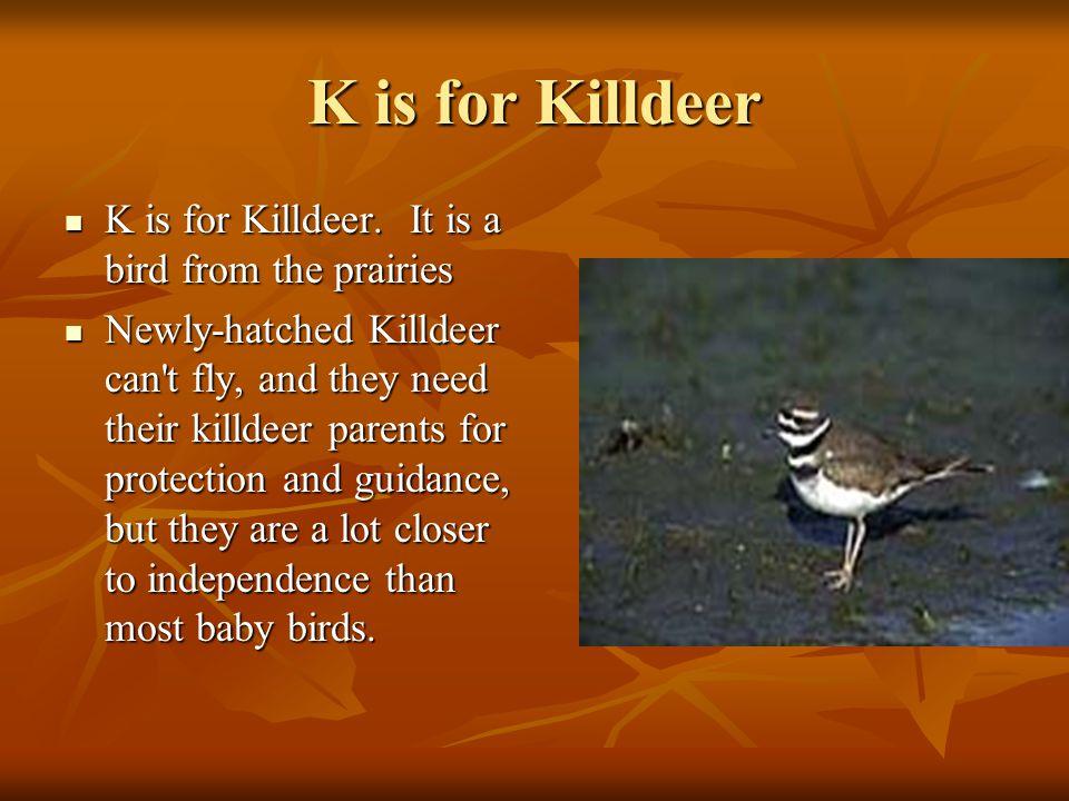 K is for Killdeer K is for Killdeer.It is a bird from the prairies K is for Killdeer.
