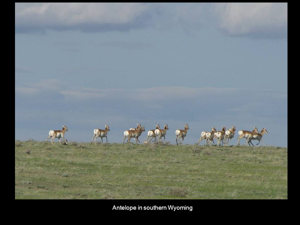 Antelope in southern Wyoming