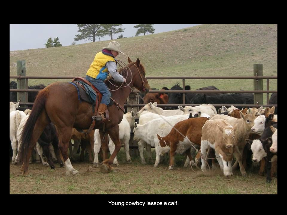 Young cowboy lassos a calf.