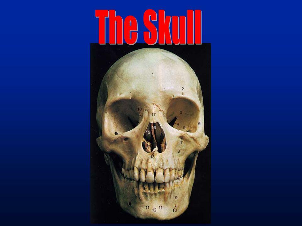 Jawless Vertebrate mouth pharyngeal openings cranium
