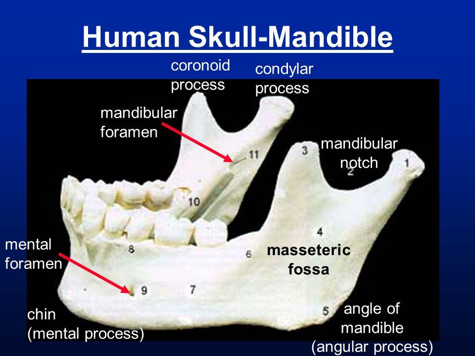 Human Skull-Mandible coronoid process condylar process masseteric fossa mandibular notch angle of mandible (angular process) chin (mental process) mental foramen mandibular foramen